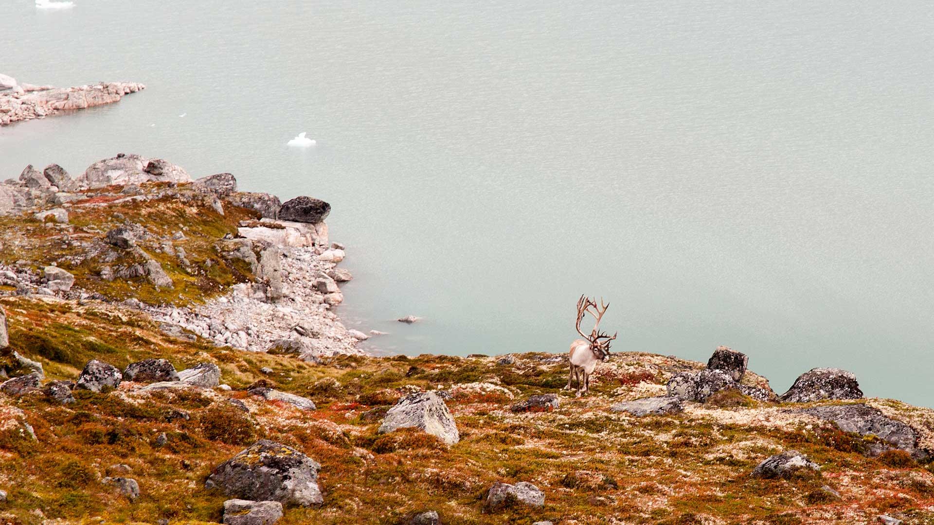 Reindeer in Breheimen